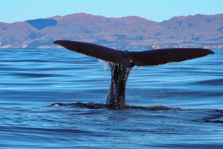 Whale watching, Kaikoura
