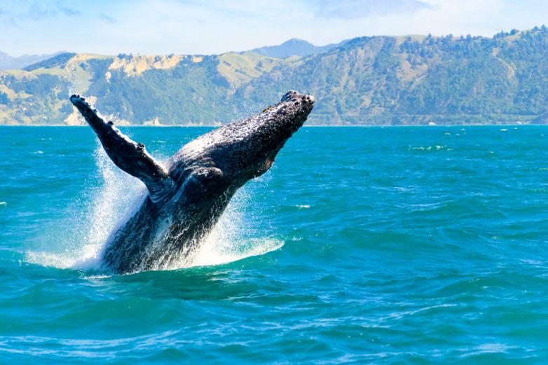 Humpback Whale, Kaikoura