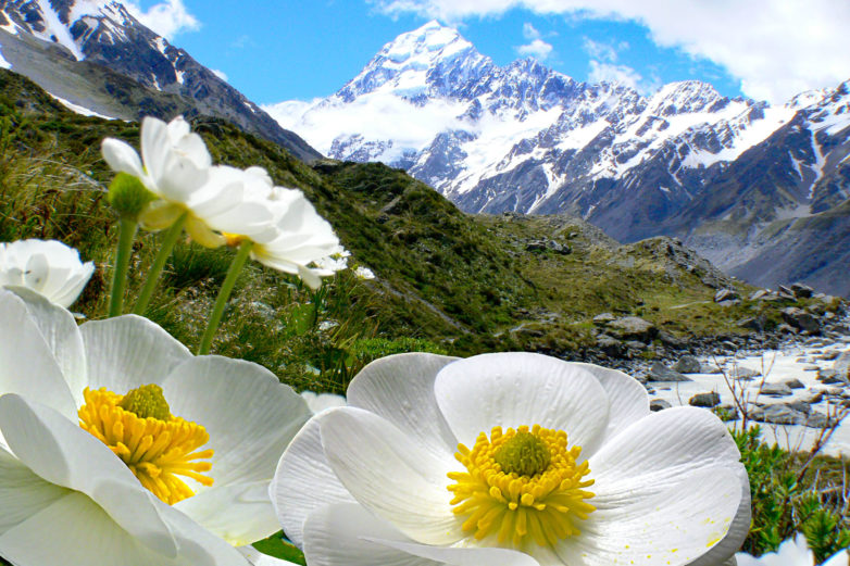 Mt Cook lillies