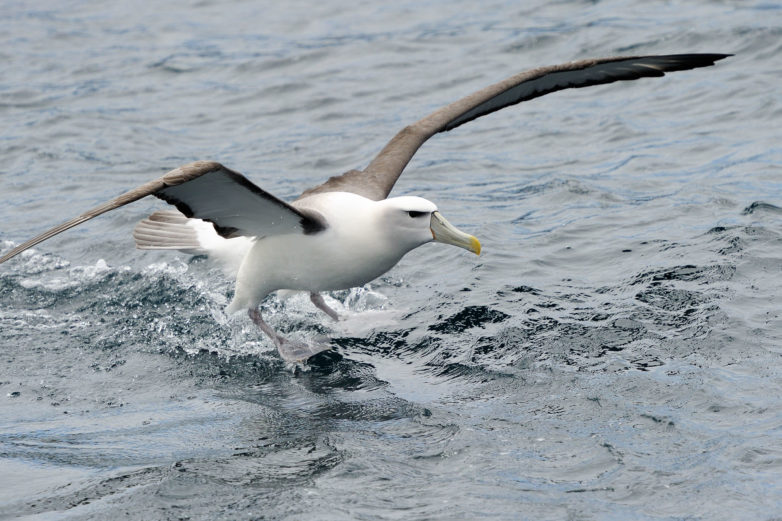 Shy Albatross, Otago Paninsula