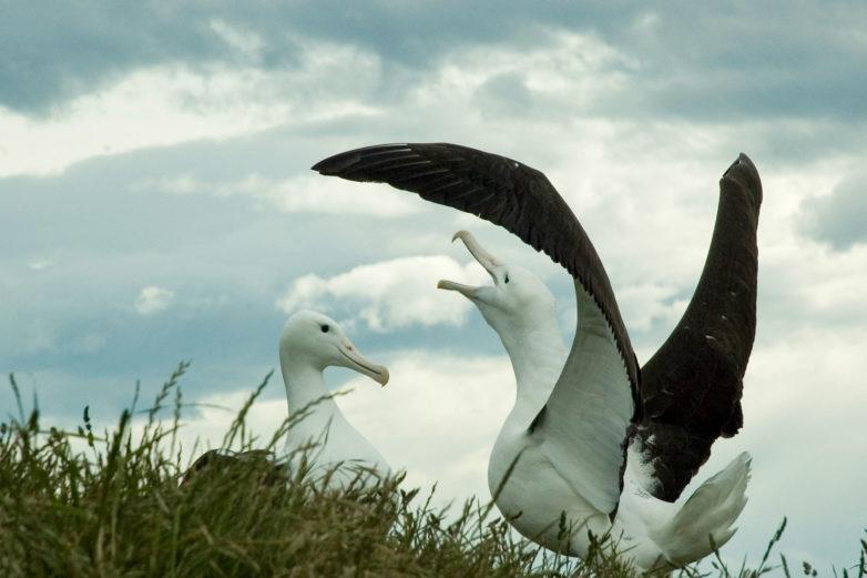 Albatross, Taiaroa Head, Otago Peninusla