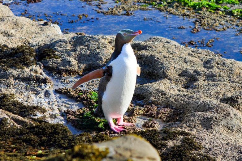 Yellow eyed penguin, Otago