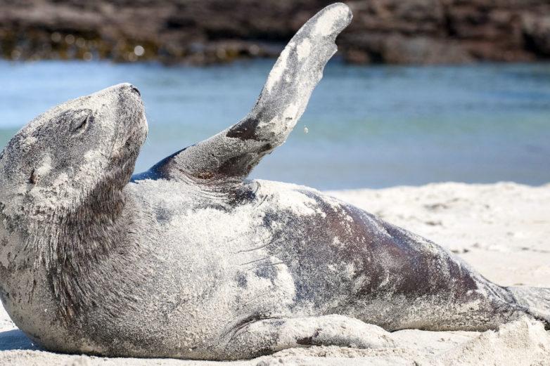 Hookers Sea Lion, Otago Peninsula