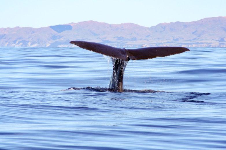 Kaikoura Whale Watching