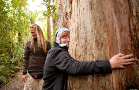 Kauri Tree, Bay of Islands