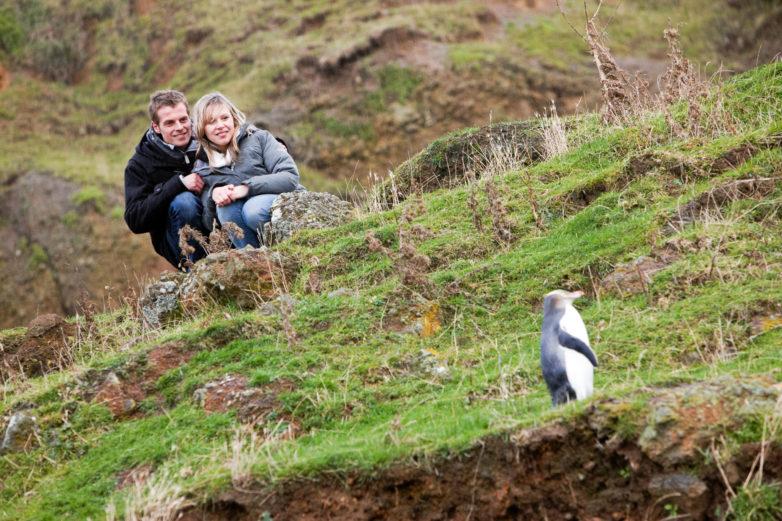 Yellow eyed penguin, Otago Paninsula