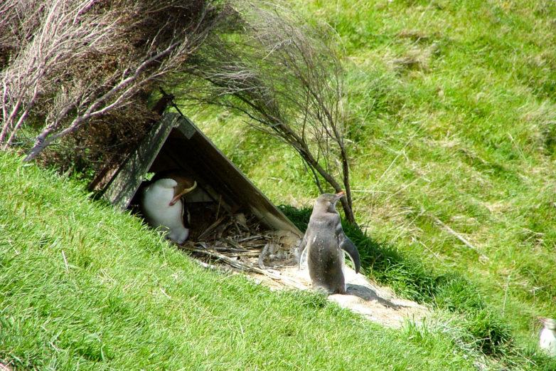 Yellow eyed penguin, Otago Peninsula
