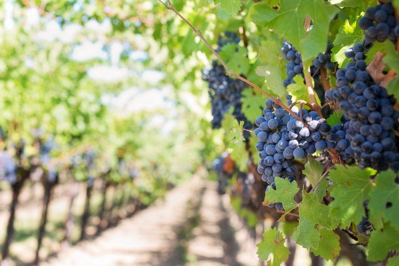 Kinross grapes